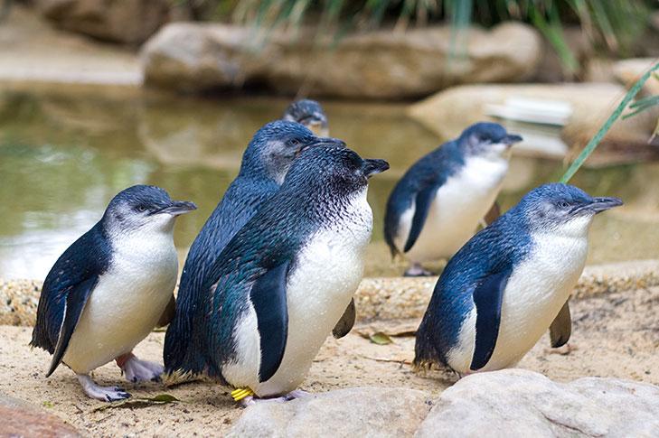 Australia - Phillip Island Penguin Parade  - Melbourne