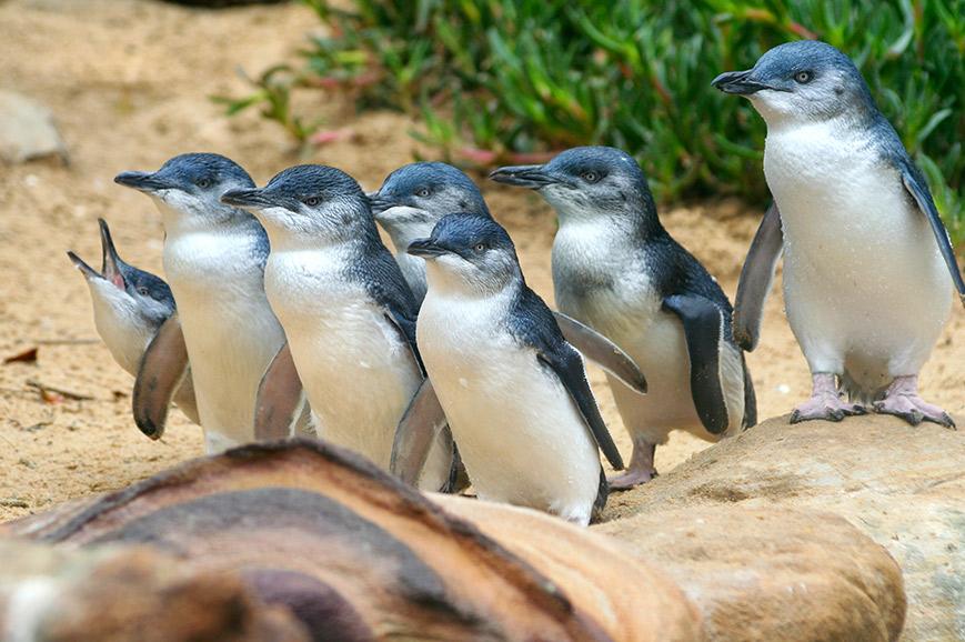 Phillip Island Penguin Parade - Melbourne