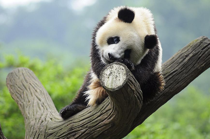 Chengdu Panda Research Centre