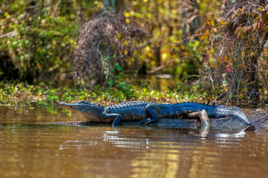 USA - New Orleans - Bayou cruise and aligator spotting