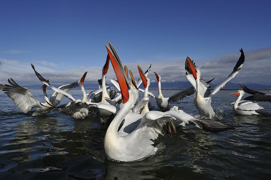 Dalmation Pelicans, Tulcea Nature Reserve