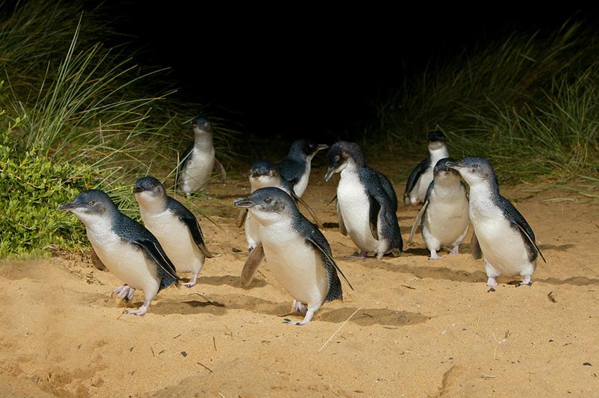 Penguin Island Tours Warrnambool