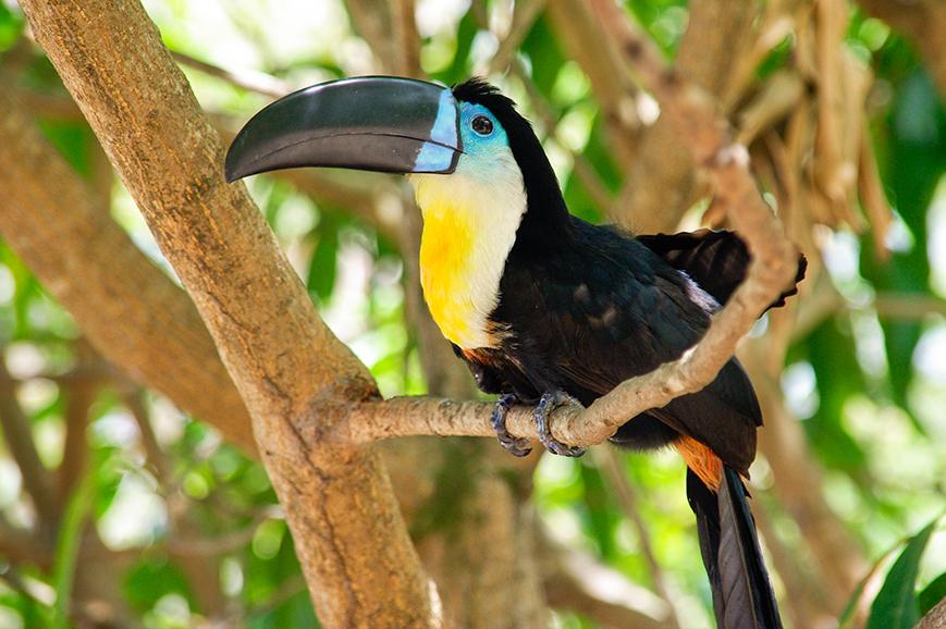 Toucan, Iguazu