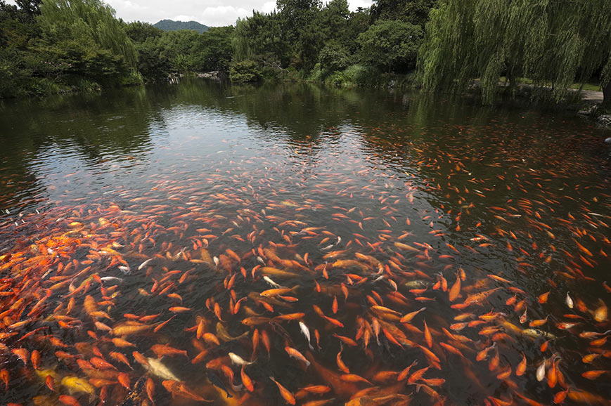 Gold Fish, West Lake, Hangzhou