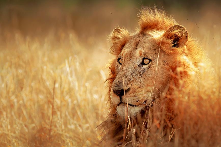 Lion in Kruger National Park