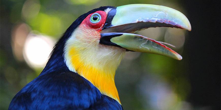 Toucan, Iguacu