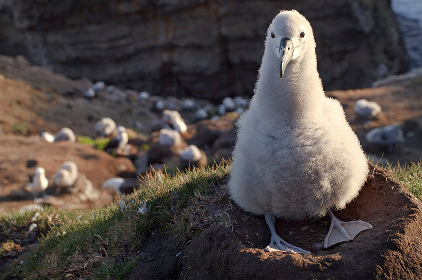 Black-Browed Albatross Chick, Falkland Isles
