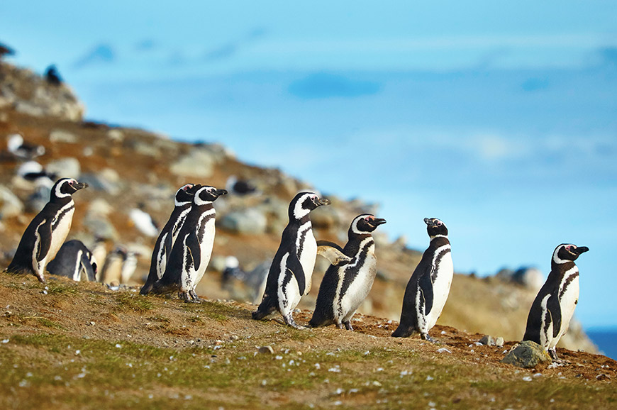 Magellanic penguins on Magdalena island