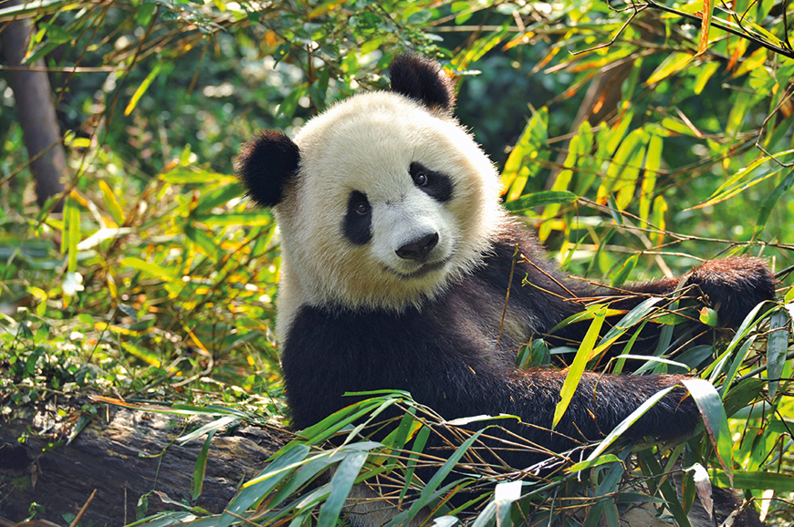 Chengdu Panda Breeding Research Centre