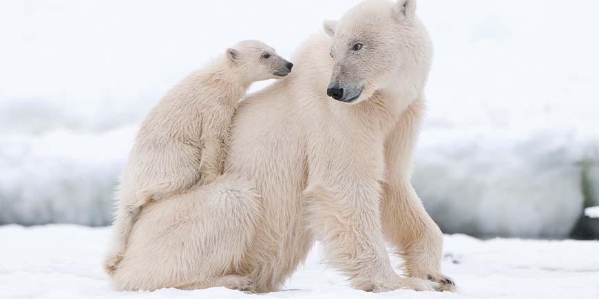 Polar bear by tundra vehicle wheel