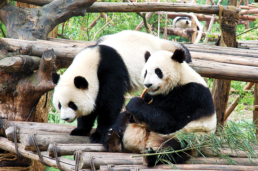 Chengdu Panda Breeding Research Centre