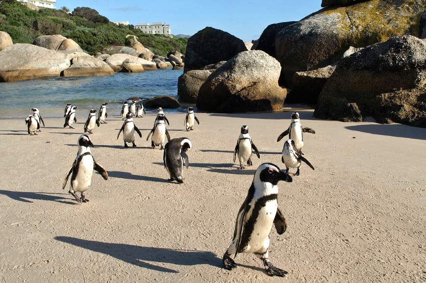 Penguins on Boulder Beach