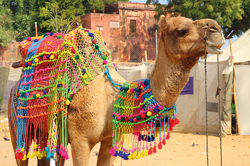 Grand Tour of India - Pushkar Camel Festival