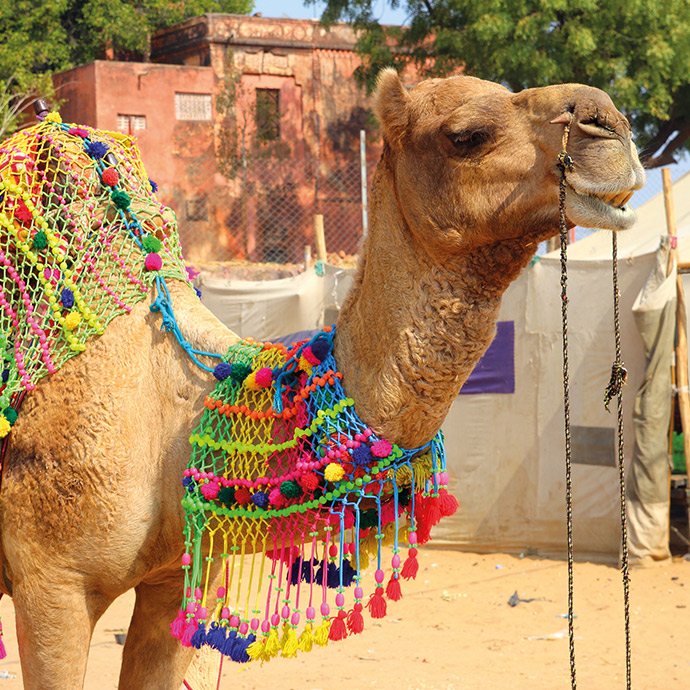 Grand Tour of India - Pushkar Camel Festival Special Departure