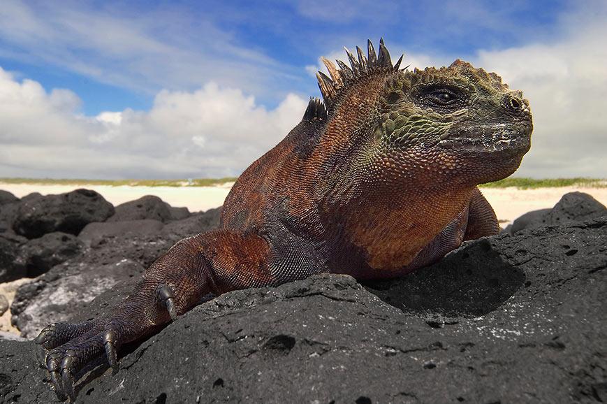 Galapogos marine Iguana