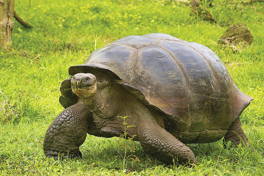 Galapogos Giant Tortoise, Isabela Island
