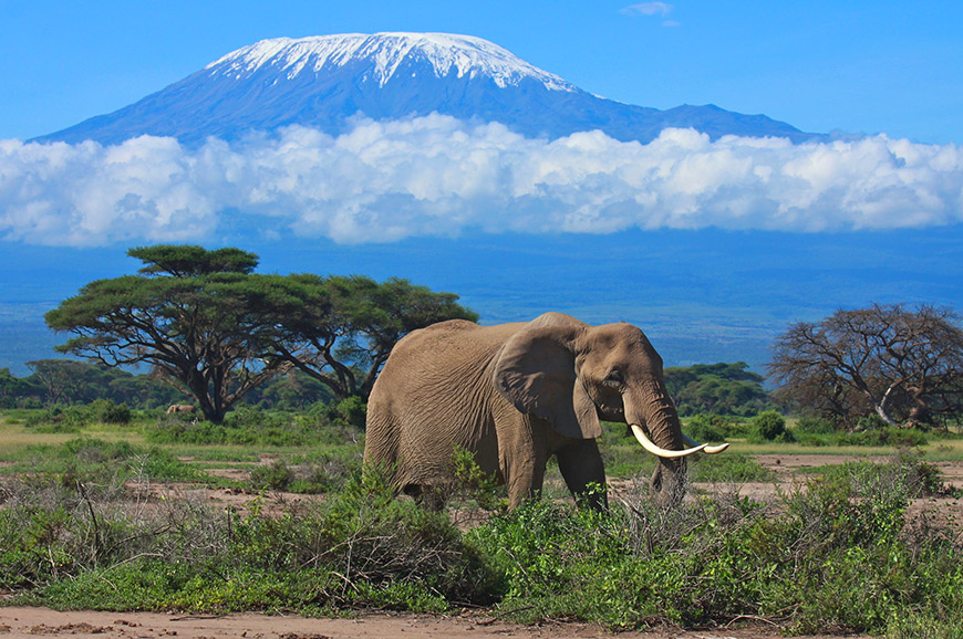 Elephant in front of Kilimanjaro
