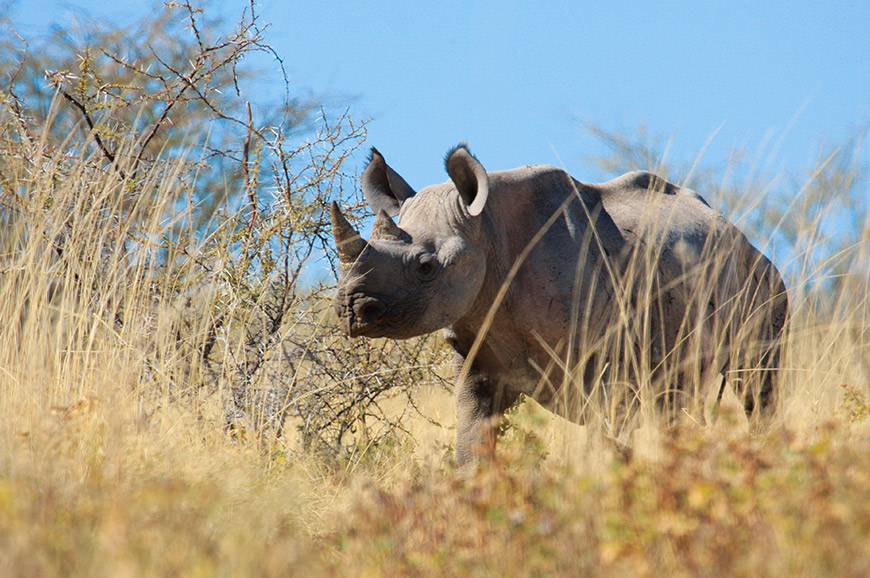 Rhino in Etosha National Park