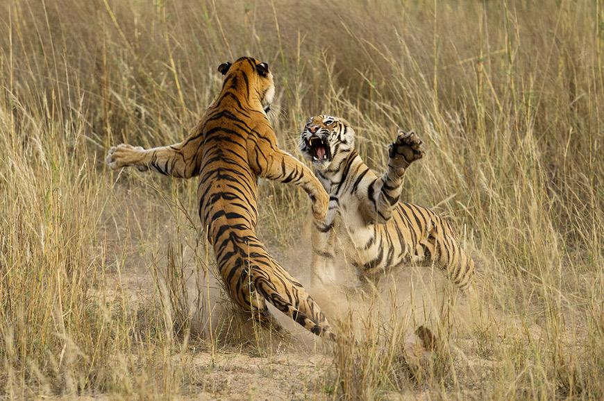 Bengal tigers at Bandhavgarh National Park