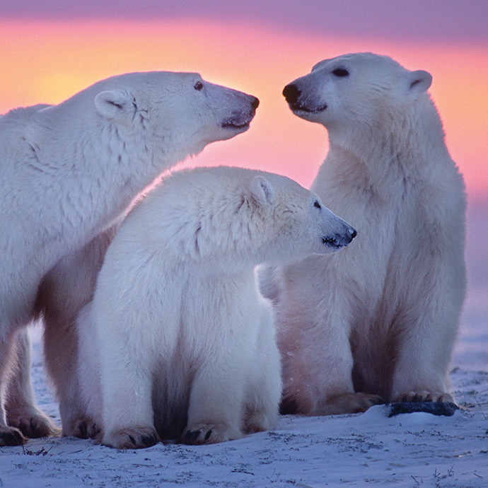 Winter Polar Bear Encounter