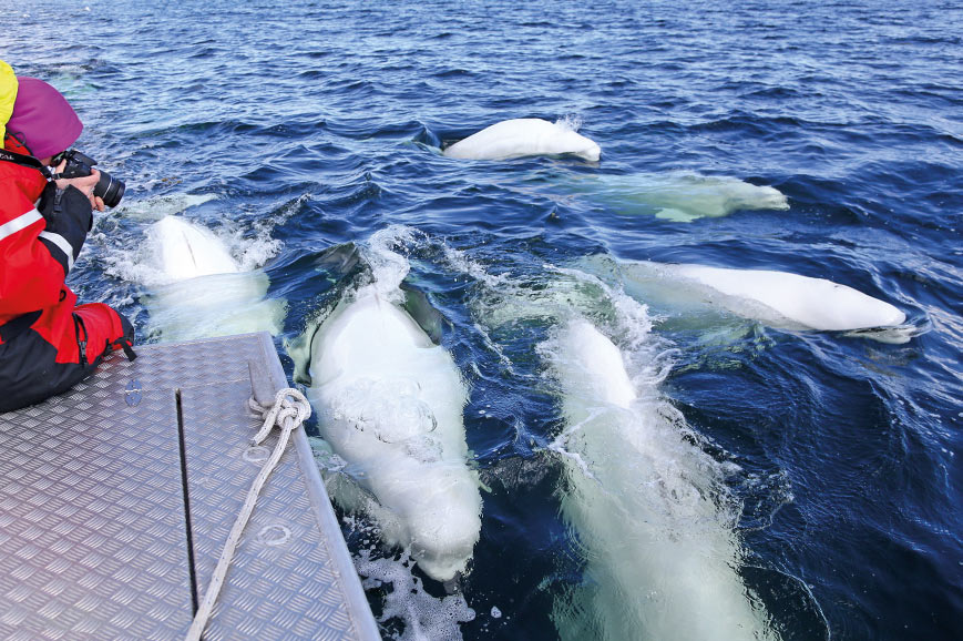 Beluga whale-watching